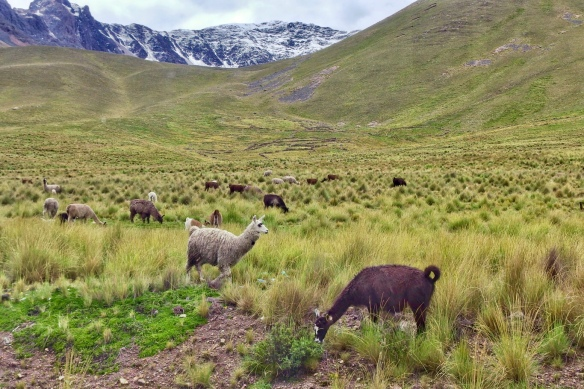 Llamas grazing in the Altiplano, Andean plateau