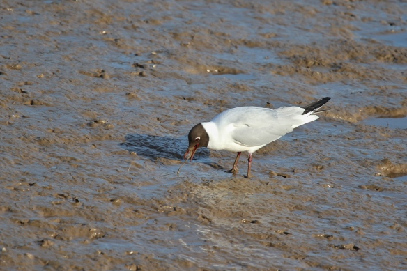 Black-headed Gulls hunting worms in the mud on the Norfolk UK coast