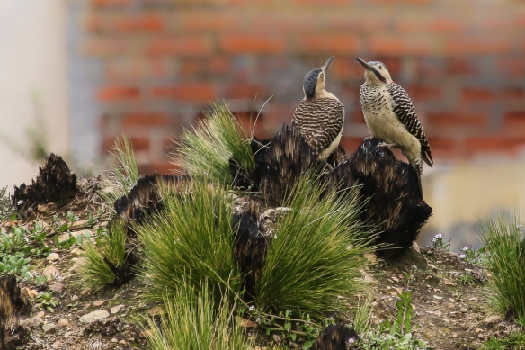 Andean Flicker pair-