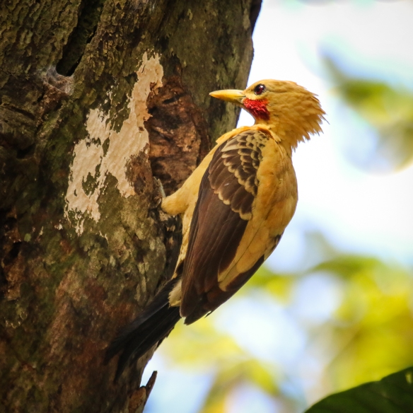 cream-colored woodpecker male-