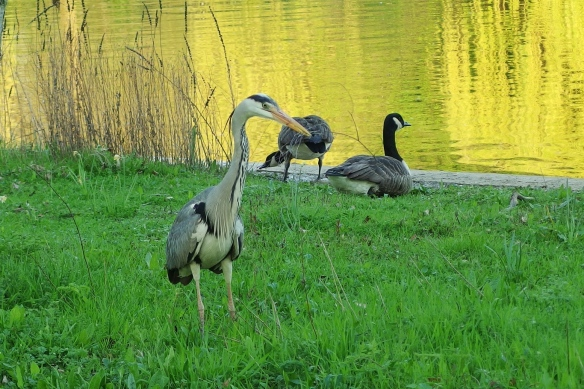Gray heron selecting nest material