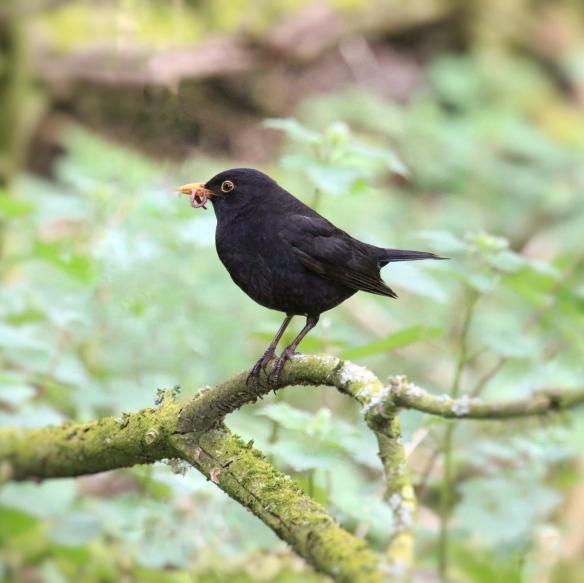 European Blackbird
