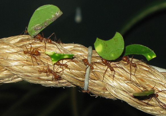 Leaf_cutter_ants_Arpingstone-Wikimedia Commons