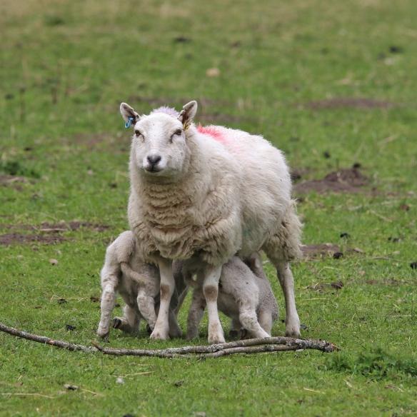 Ewe and lambs, Scotland