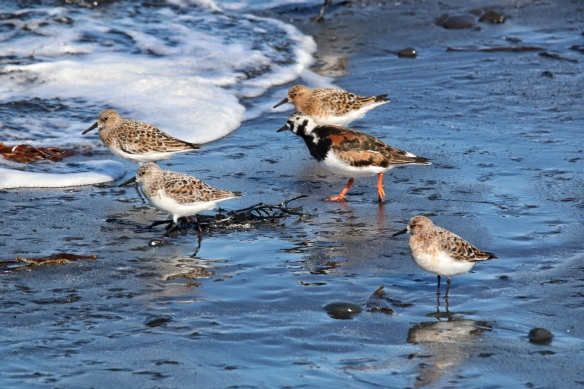 Sanderlings and Ruddy Turnstone foraging at Akranes beach, Iceland