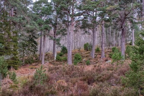 Rothiemurchas forest near Grantown-on-Spey, Scotland
