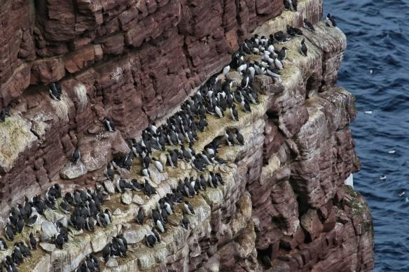 Rows of Guillemots at Handa Island seacliffs, near Scourie, Scotland