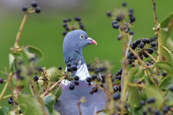 Wood Pigeon eating ivy berries