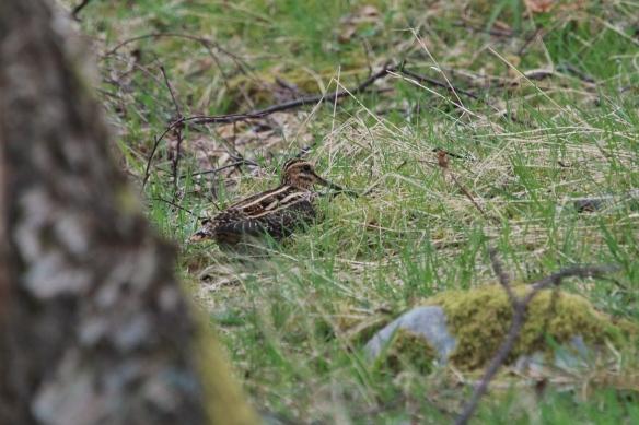 Snipe, Scottish moors