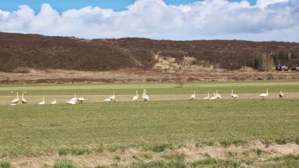 Whooper swans, Iceland
