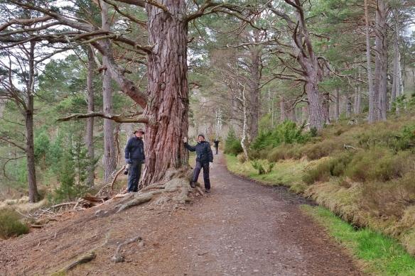 Old Scotch pine, Grantown-on-Spey, Scotland