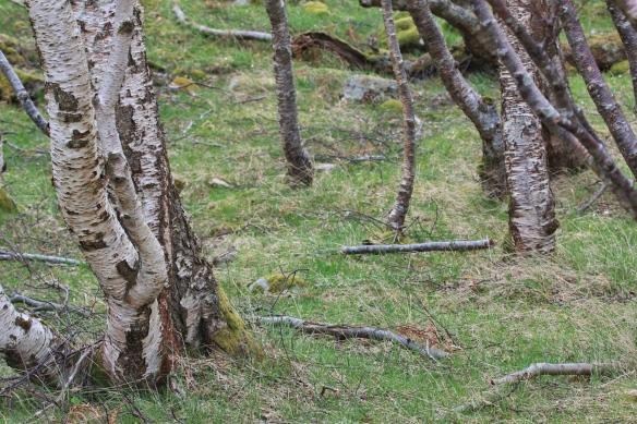 Stunted Birch forest in Northern Scotland