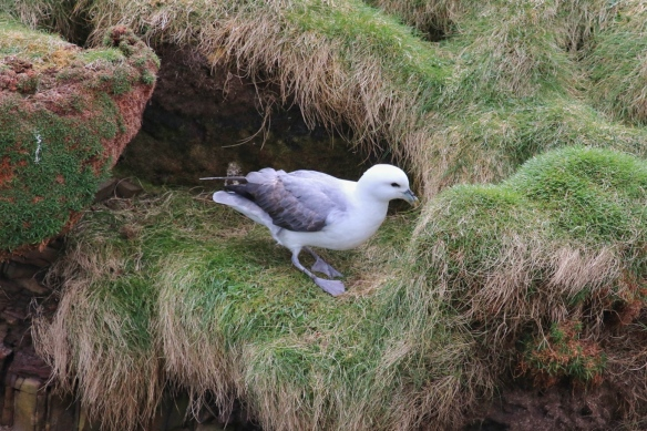 Northern Fulmar, Duncansby Head, Scotland