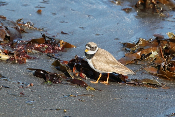 Ringed Plover, Akranes beach, Iceland
