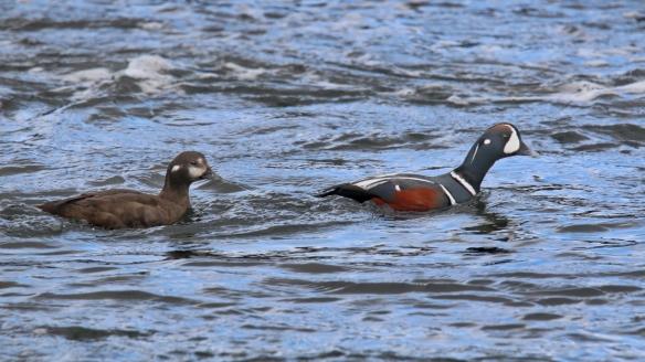 Harlequin duck pair, Snæfellsnes Peninsula, Iceland