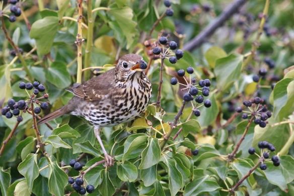 Song thrush eating ivy berries