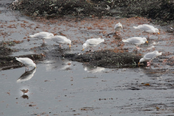 Iceland Gulls, Snæfellsnes Peninsula, Iceland