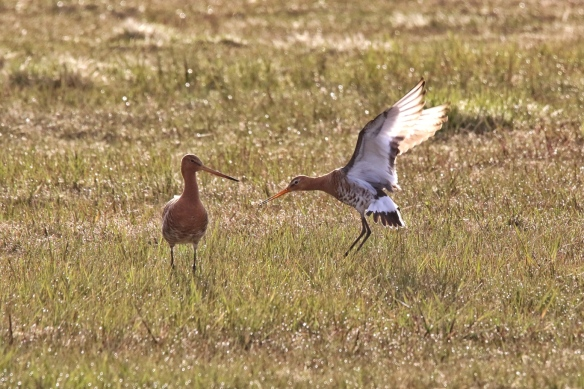 Black-tailed Godwit, Iceland