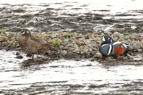 Harlequin duck pair, Iceland