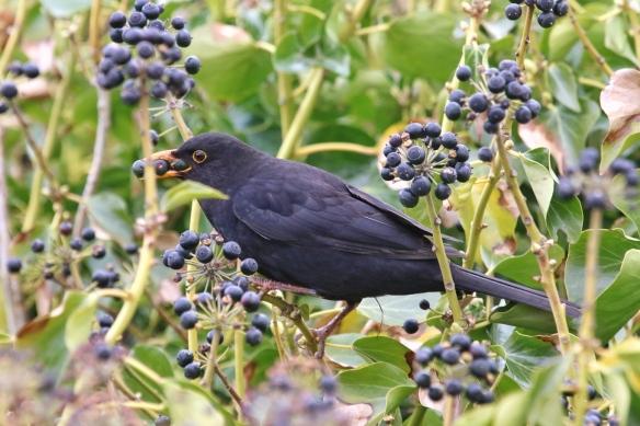 Blackbird eating ivy berries