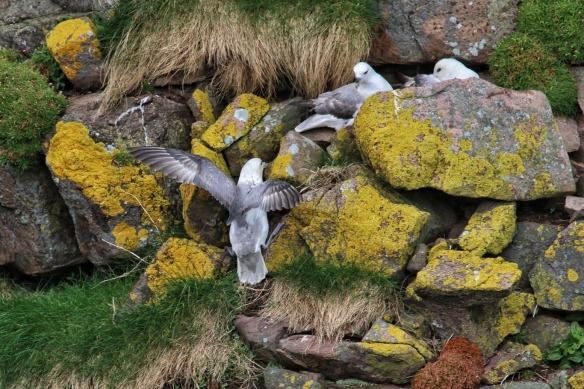 Fulmars at Handa Island seacliffs, near Scourie, Scotland
