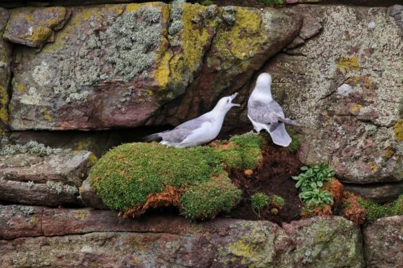 Fulmars at Handa Island seacliffs, near Scourie, Scotland