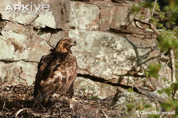 ARKive image ARK010281 - Golden eagle
