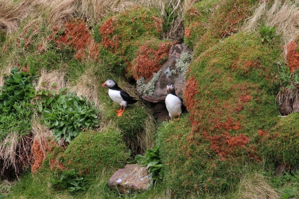 Puffins at Handa Island seacliffs, near Scourie, Scotland