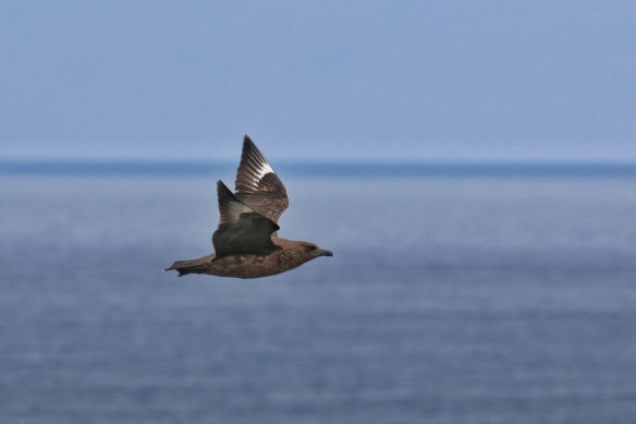 Great Skua on Handa Island Wildlife Reserve, Scourie, Scotland
