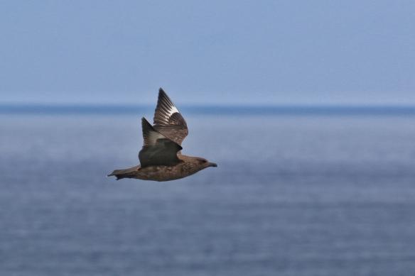 Great Skua on Handa Island Wildlife Reserve, Scourie, Scotland
