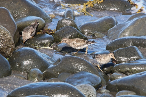 Purple Sandpipers, Akranes beach, Iceland