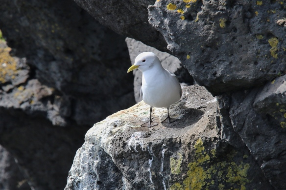Kittiwake gull, Arnarstapi cliffs, Iceland