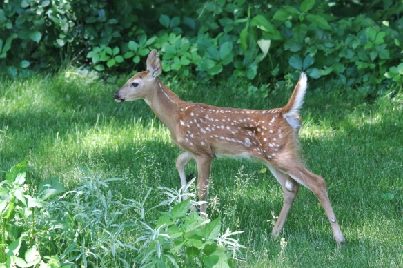 Single fawn without doe
