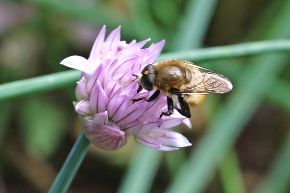 Narcissus bulb fly on chive flowers