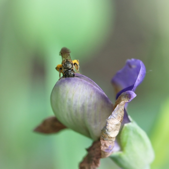 Solitary bee on false wild indigo