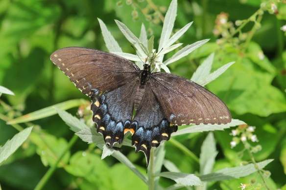 Black morph, Tiger Swallowtail butterfly