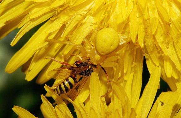 Goldenrod crab spider capturing a wasp.  From Wikimedia Commons