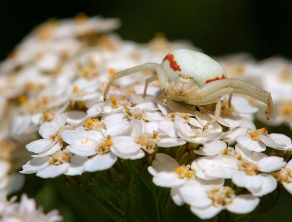Flower crab spider, white morph, Photo from Wikipedia