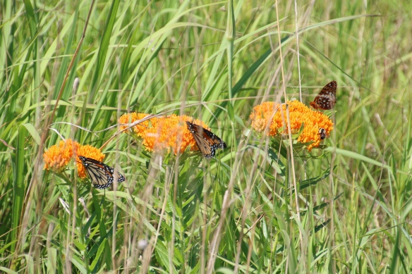 Butterfly weed with Monarch and Fritillary butterflies