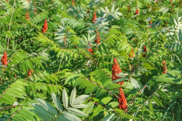 Fruiting smooth sumac
