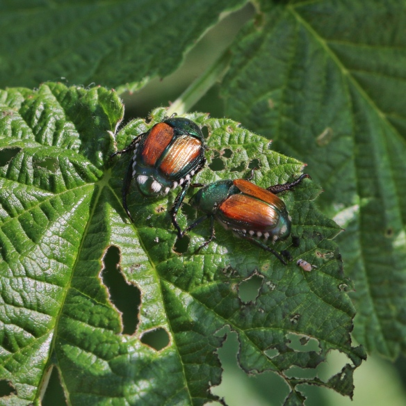Japanese beetles eating raspberry leaves