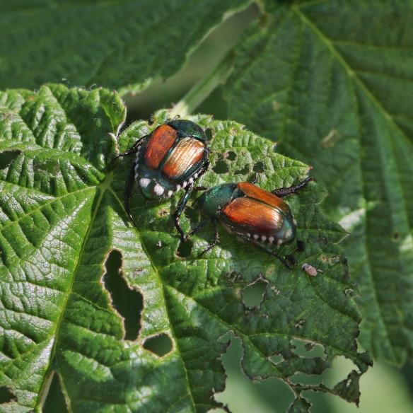 Japanese beetles eating raspberry leaves