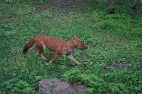 Dhole, Asian dog