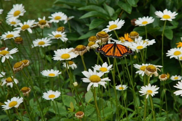 Monarch butterfly on Shasta daisy