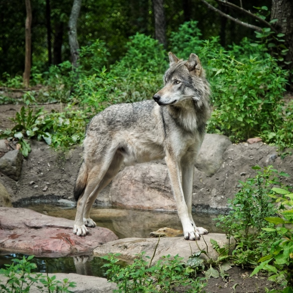 Gray wolf, Minnesota Zoo
