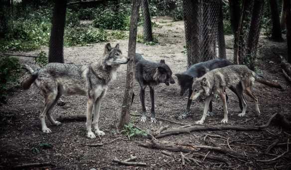 Gray wolves, Minnesota Zoo