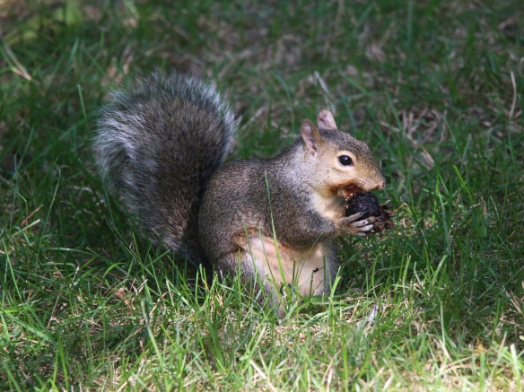 Gray squirrel husking a walnut