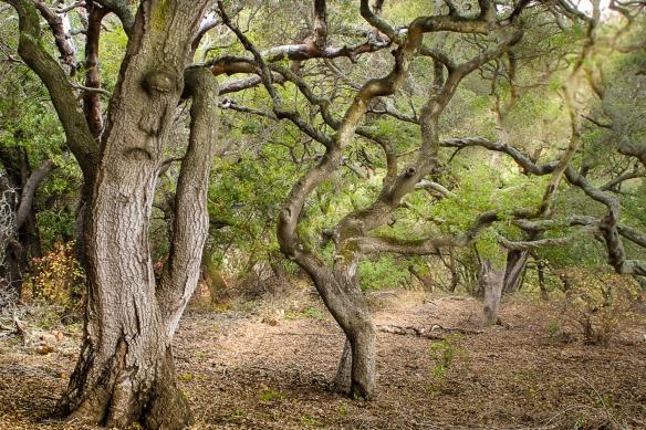 oak forest, Berkeley botanical garden, CA