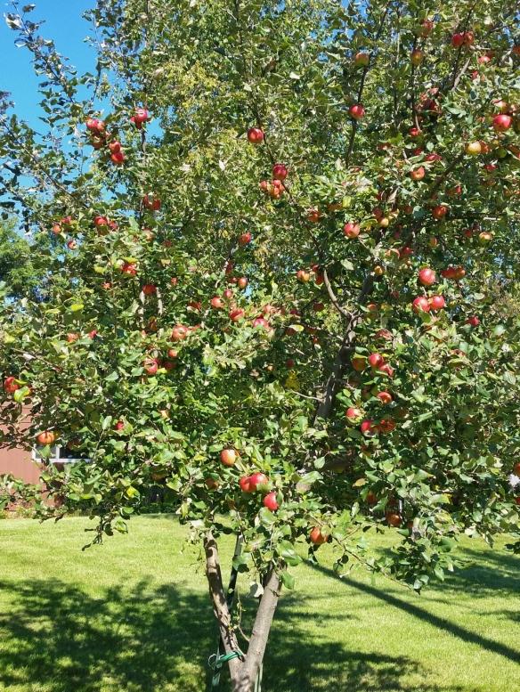 Apple tree fruit production