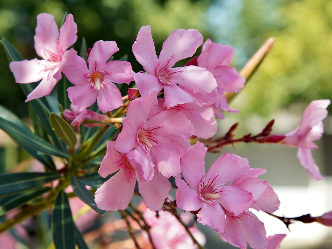Beautiful but deceitful and poisonous back yard biology nerium oleander flowers beautiful pink flowers of the highly poisonous oleander mightylinksfo